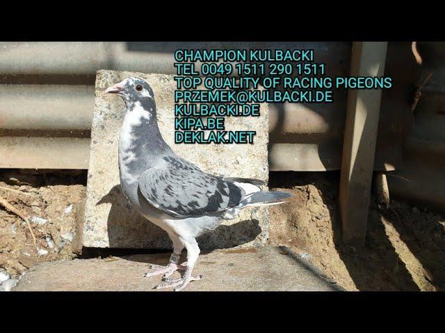 Młode prosto z  gniazga NESTJUNGE nest pigeons
