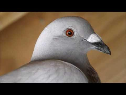 Homing Pigeon Races Young Birds Fly - Colombofilia