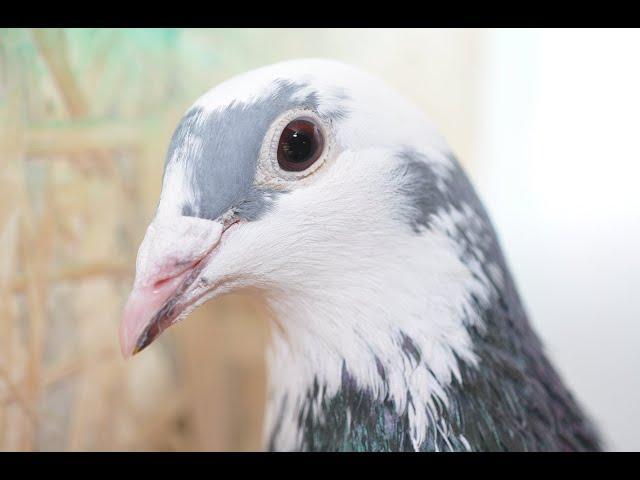 Wyżymacze i Żniwiarze gołębie bojowe tel. 728 465 939