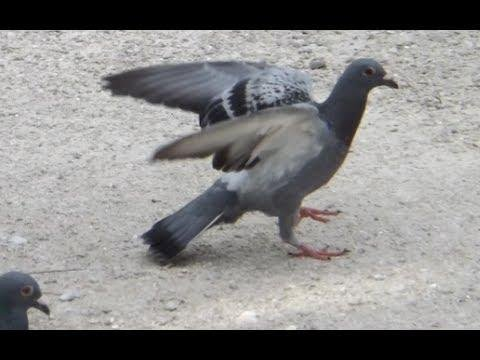 Scotty Loft - Pigeon Racing Young Birds for 2014 - Combine results