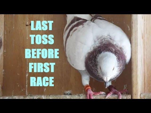 130 Mile Toss : Young Bird Training Pigeon Racing