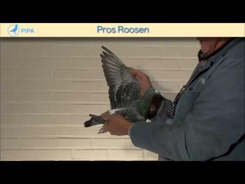 PIPA - Pros Roosen Auction - Tarzan
