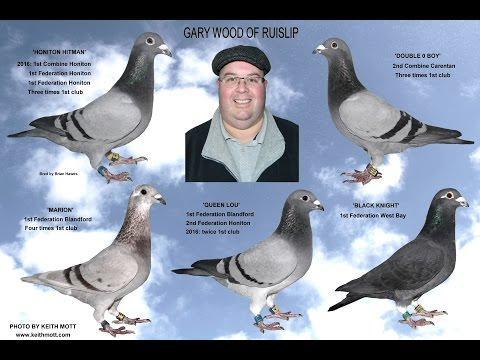 Video 340: Gary Wood of Ruislip: Premier Pigeon Racer