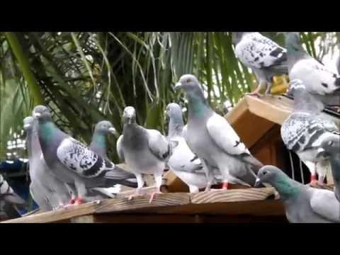Pigeons Return From 40 Mile Toss - Trapping With Hawk Nearby