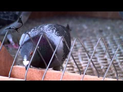 Arona-TENERIFE 2014 - Pigeon's Condition