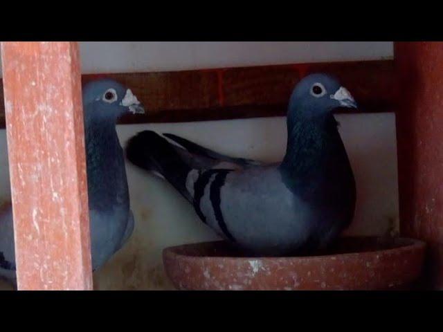Suelta de Cardenas en Guaimaro llegadas de frank