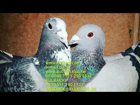 Najlepsze gołębie Regionalverbandu Najlepsze gołębie Niemiec dla mojej Hodowli tel0049 1511 290 1511