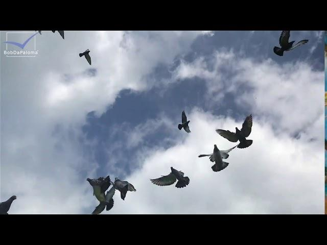 Young Racing Pigeons learn drinking in the basket and jump in from flying in the sky