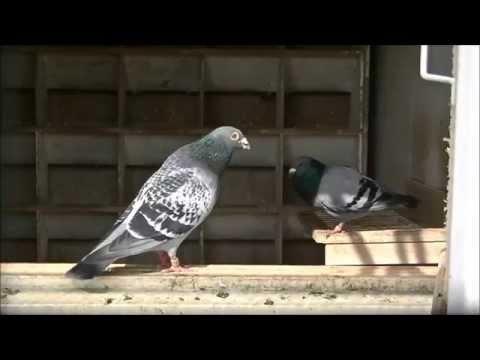 Stefaan Lambrechts Pigeons loft