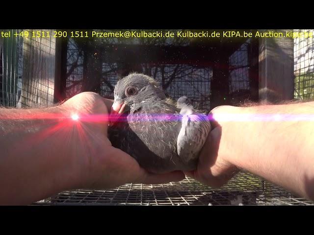 18:03, 15-03-2018 Mlode golebie na sprzedaz young pigeons for sale junge Tauben zum verkauf KULBACKI