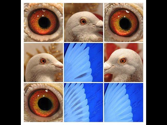 Tajemnica w oczach gołębi tel. 728 465 939