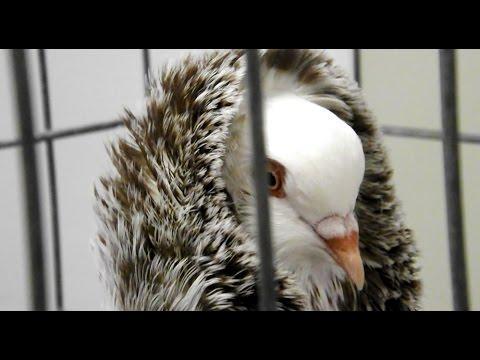 Pigeon Show - Ocala Florida