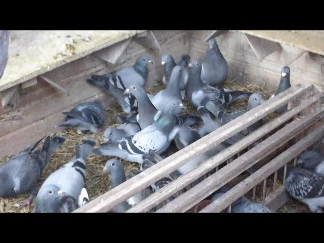 De jonge duiven bekijken (deel 1)
