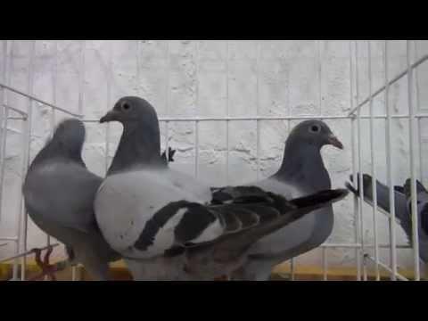 Szybkie gołębie flora Vervoorta t. 728 465 939