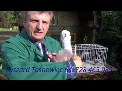Zabiegi pielęgnacyjne w hodowli gołębi tel. 728 465 939