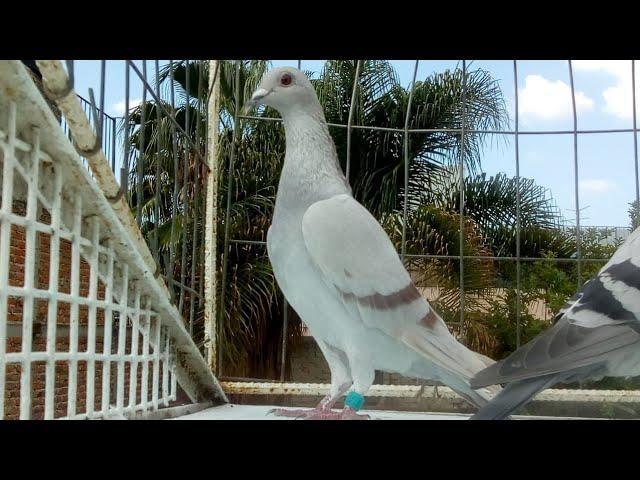 Llegada de las palomas del DERVI DE CAMAJUANI 80 kilometros