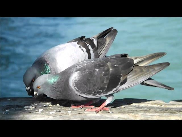 Pigeons OF Florida - ROCK DOVE - SCRUBS - WILD - FERAL