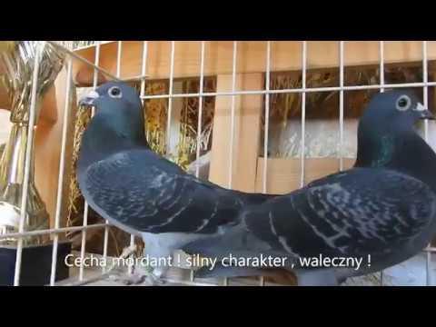 Pogadanka o wyjątkowych gołębiach tel. 728 465 939