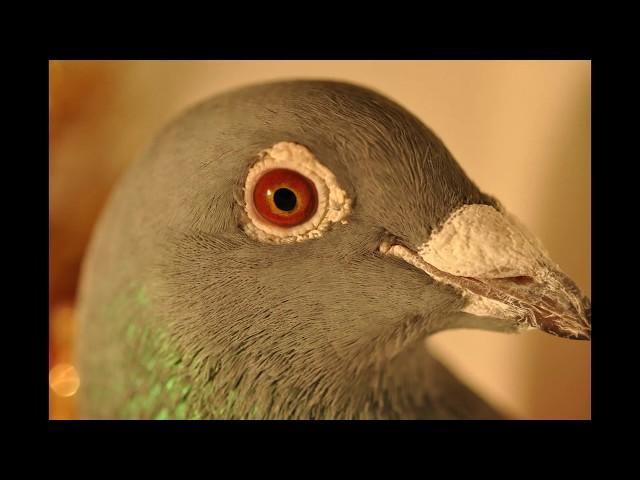 Wyżymacze , gołębie Ryszarda linia Stichelbaut tel. 728 465 939