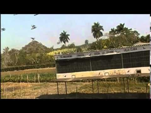 Racing Pigeons Fly Around Loft in CUBA - Colombodromo