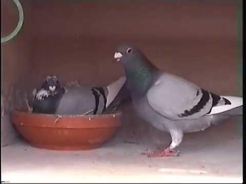 Video 244: Kevin Locker of Loftus: Premier Pigeon Racer