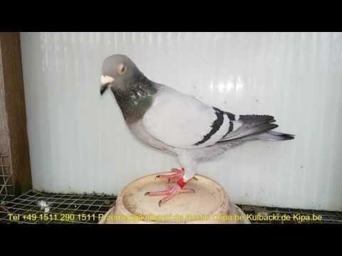 już sprzedane, cześć 2 Kulbacki Pigeons