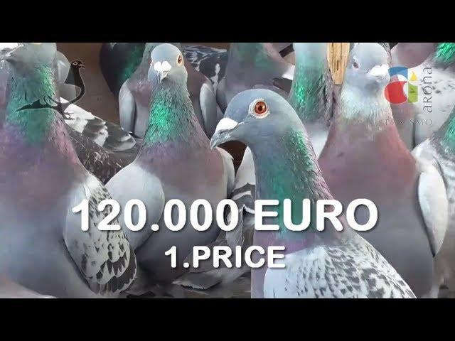 Derby Arona-TENERIFE, one of the best OLR Pigeon races in the World