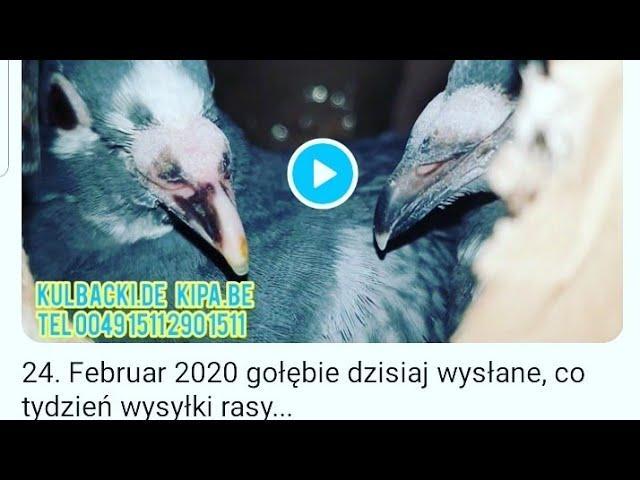 24. Februar 2020 gołębie dzisiaj wysłane, co tydzień wysyłki rasy Kulbacki, tel 0049 1511 290 1511