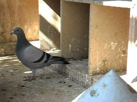 jonge duiven op hok Bob Rasenberg