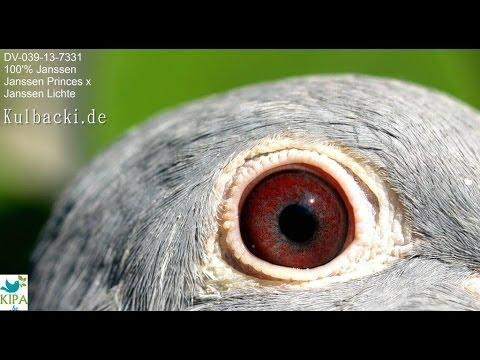 Pigeon DV-039-13-7331 PRINCES  100% JANSSEN ARENDONK www.auction.kipa.be