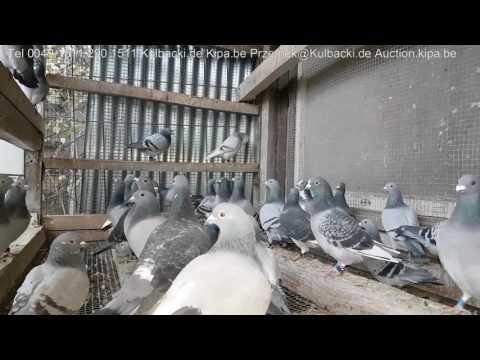 Kulbacki racing pigeons 79 best pigeons in Club 23 with full price 3 Champion Regionalverband