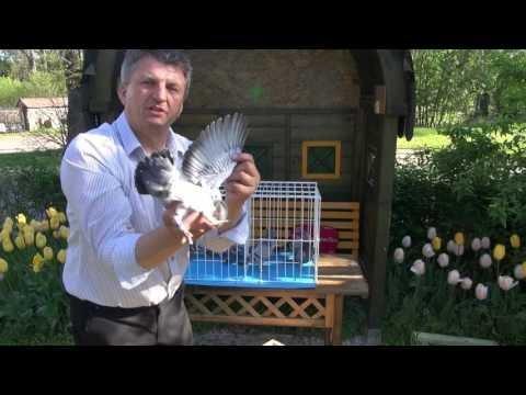 Szybkie gołębie na sprzedaż Tel. 728 465 939