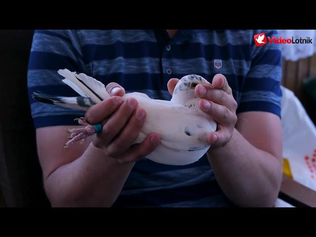 Tomasz Wiczling PZHGP 063 Kościerzyna - racing pigeons