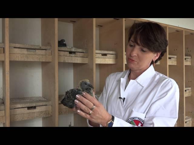 Viola Dziuba, Gesundheitskontrolle bei Tauben