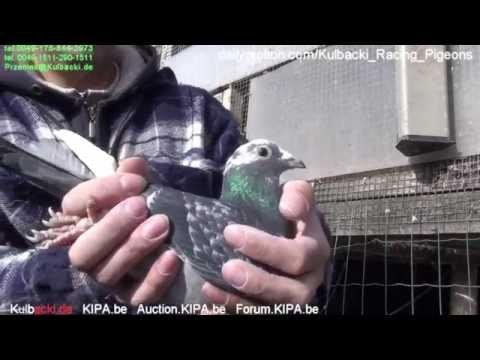 CHAMPION KULBACKI BREEDING PRESENTS Germany Jearling Champion hens from Kulbacki part 1