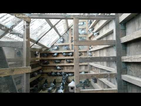 nasze golebie w DUBAI & IRAN Champion Kulbacki Germany Company +4915112901511