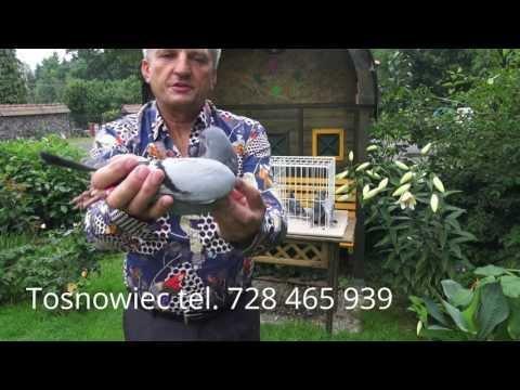 Gołębie na Górnym Śląsku od Ryszarda tel. 728 465 939