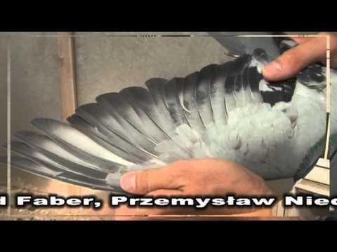 Przemysław Niedbalski - Prezentacja gołębi