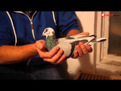 Gołębie na sprzedaż - bezpośrednio od R. i D. Faber