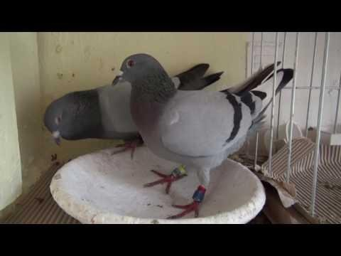 Szybkie gołębie wdowce Ryszarda Tel. 728 465 939