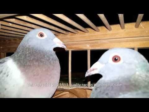 Wir versenden unsere Tauben deutschlandweit und weltweit jede Woche Kulbacki Racing Pigeons company