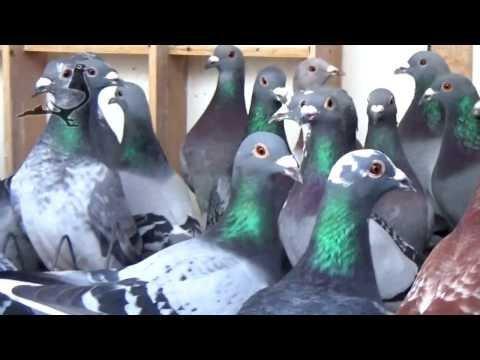 +1500 Brave Pigeons Derby ARONA 2017