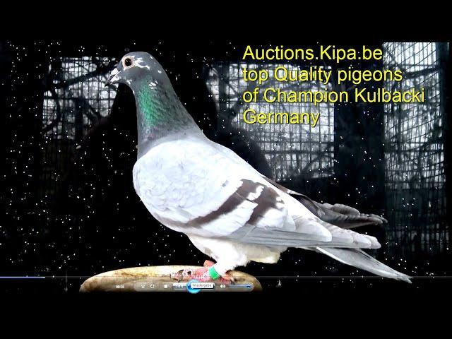 DV-039-19-2309 inbred Ramses http://auction.kipa.be/aukcja/108/dv-039-19-2309-inbred-ramses