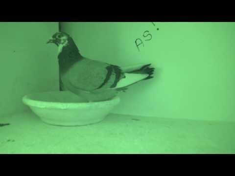 Gołębie wdowce po locie Tel . 728 465 939