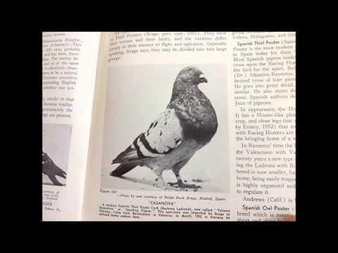 Pigeon Breeds and Varieties - Show Birds - Fancy Pigeons