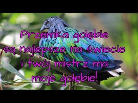 Rasa Kulbacki 3.najlepsza samica OKRĘGU Rzeszów, rasa KULBACKI najlepsze gołębie na świecie