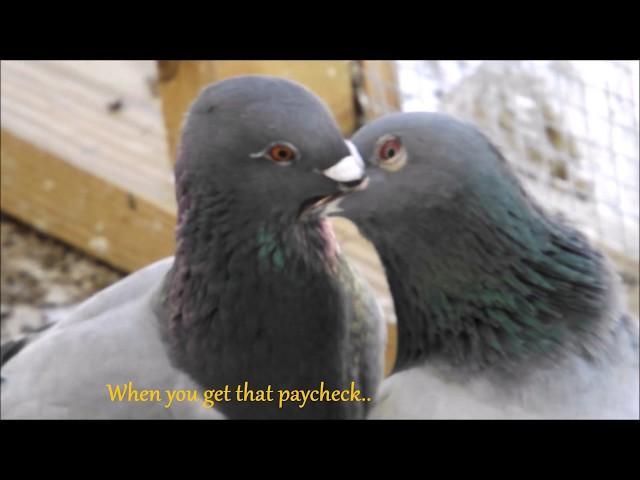 Racing Pigeons 2019