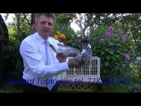 Młode gołębie z szybkich linii na sprzedaż tel. 728 465 939