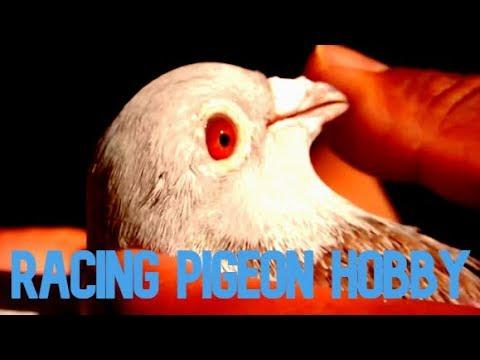 How To Start In The Pigeon Racing Sport #PigeonRacing