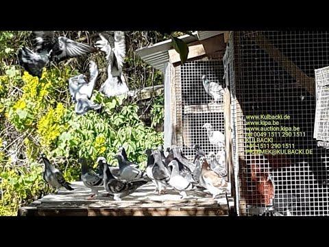 Tel 0049 1511 290 1511 Mlode na sprzedaz pigeons for sale zum verkauf